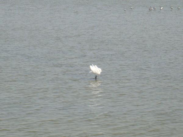 2009年2月17日拍攝於安南區黑面琵鷺64白鷺鷥#水鴨.jpg