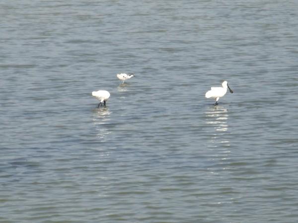 2009年2月17日拍攝於安南區黑面琵鷺80白鷺鷥#水鴨.jpg
