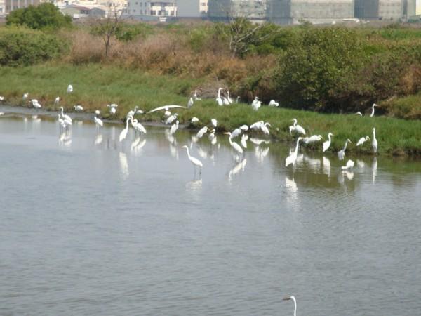 2009年2月17日拍攝於安南區黑面琵鷺82白鷺鷥#水鴨.jpg