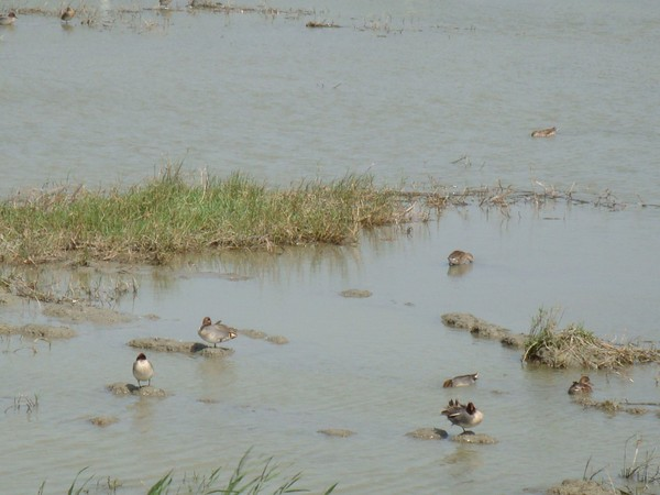 2009年2月17日拍攝於安南區黑面琵鷺101白鷺鷥#水鴨.jpg