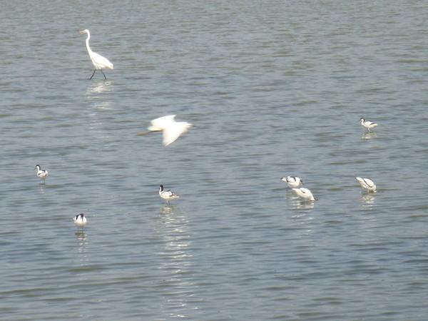 2009年2月17日拍攝於安南區黑面琵鷺45白鷺鷥#水鴨.jpg