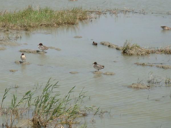 2009年2月17日拍攝於安南區黑面琵鷺104白鷺鷥#水鴨.jpg