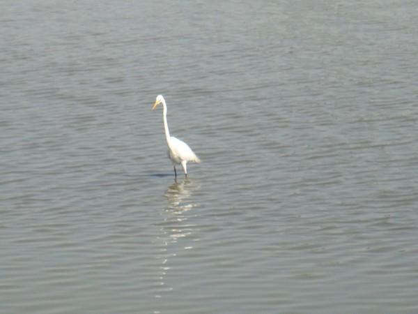 2009年2月17日拍攝於安南區黑面琵鷺87白鷺鷥#水鴨.jpg