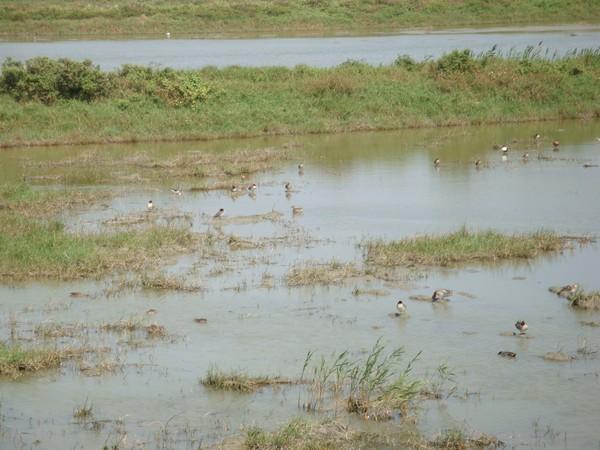2009年2月17日拍攝於安南區黑面琵鷺94白鷺鷥#水鴨.jpg