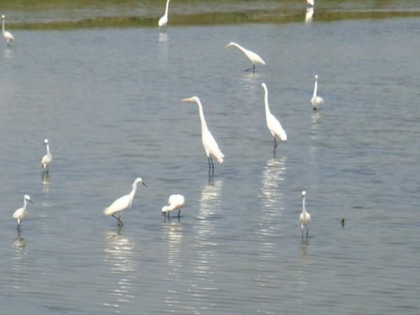 2009年2月17日拍攝於安南區黑面琵鷺54白鷺鷥#水鴨.jpg