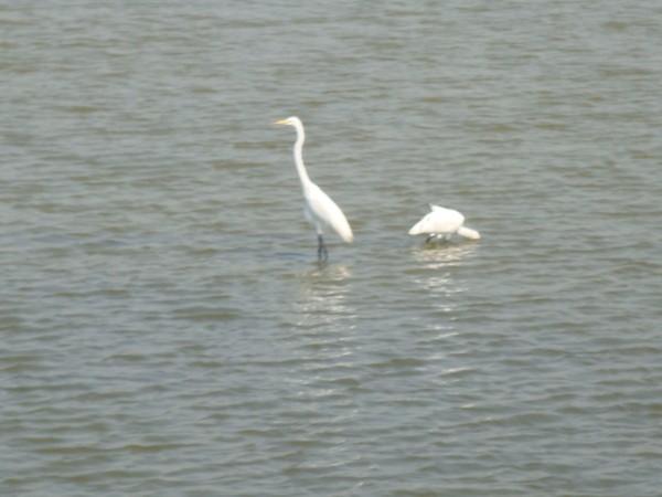 2009年2月17日拍攝於安南區黑面琵鷺42白鷺鷥#水鴨.jpg
