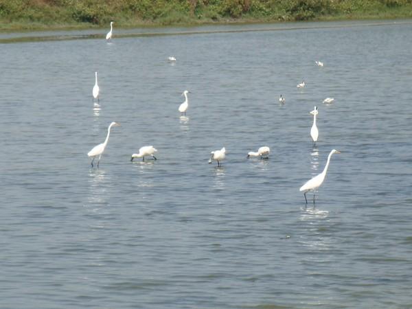 2009年2月17日拍攝於安南區黑面琵鷺34白鷺鷥#水鴨.jpg