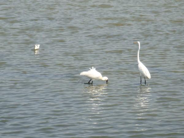2009年2月17日拍攝於安南區黑面琵鷺40白鷺鷥#水鴨.jpg