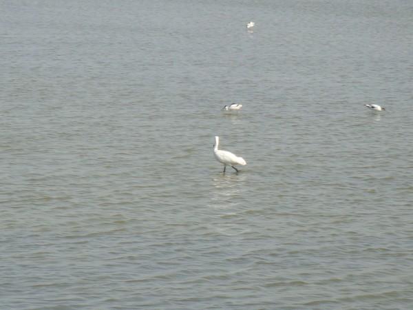 2009年2月17日拍攝於安南區黑面琵鷺44白鷺鷥#水鴨.jpg