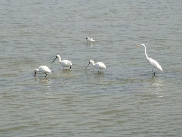 2009年2月17日拍攝於安南區黑面琵鷺74白鷺鷥#水鴨.jpg