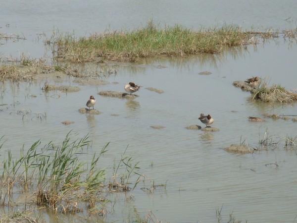 2009年2月17日拍攝於安南區黑面琵鷺96白鷺鷥#水鴨.jpg