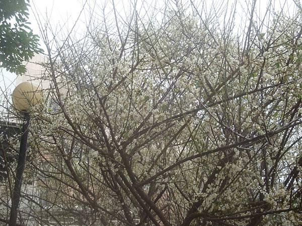 20120204拍攝於西衛梅園001.JPG