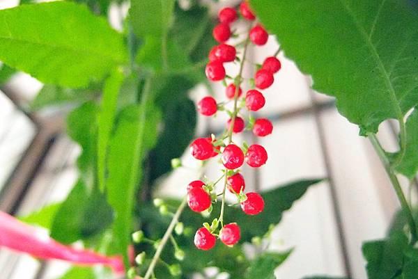 20131207珍珠一串紅001