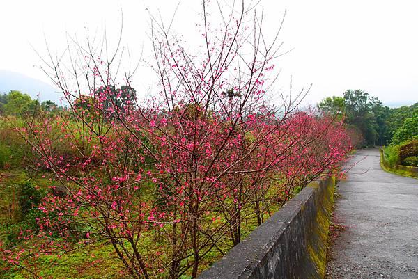 20160220拍攝於樹湖櫻花001