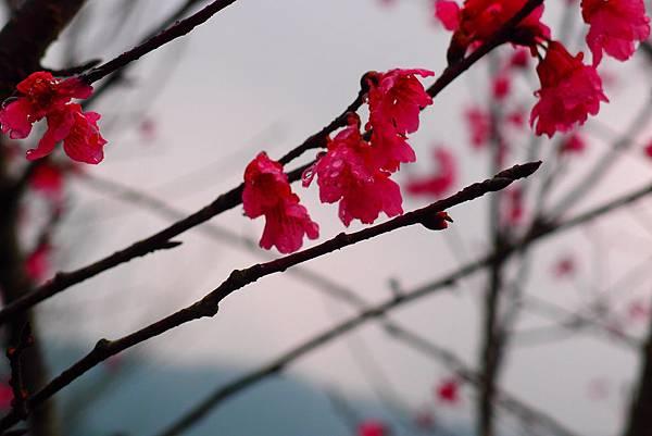 20160220拍攝於樹湖櫻花002