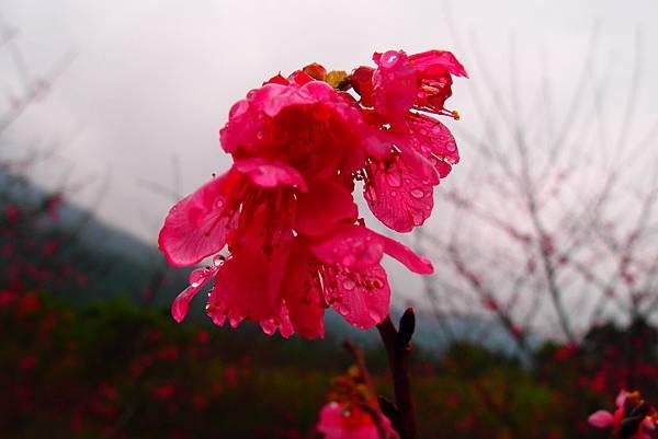 20160220拍攝於樹湖櫻花004