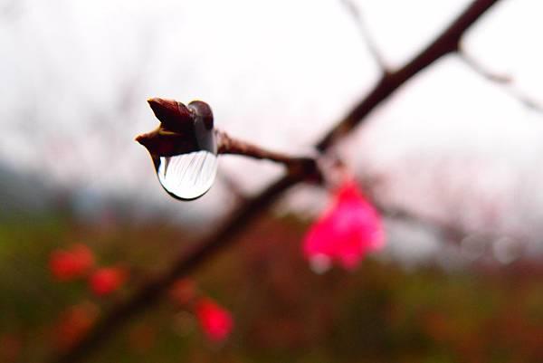 20160220拍攝於樹湖櫻花005