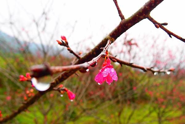 20160220拍攝於樹湖櫻花006