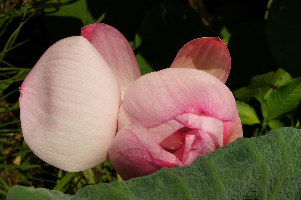 台南白河蓮花