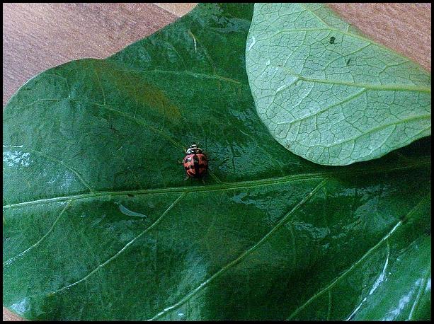 菜蟲 (1)