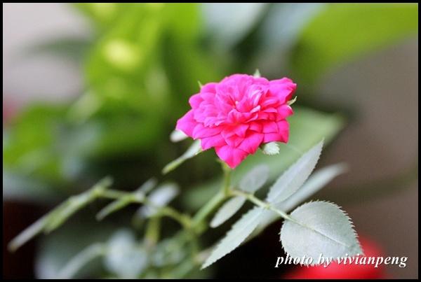 小盆栽開花