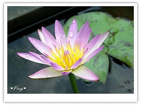 台北市植物園-荷花-01.jpg