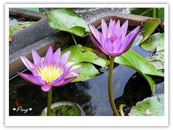 台北市植物園-荷花-02.jpg