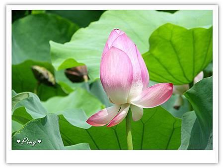 台北市植物園-荷花-04.jpg