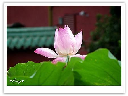 台北市植物園-荷花-05.jpg