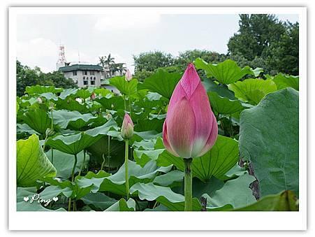 台北市植物園-荷花-06.jpg