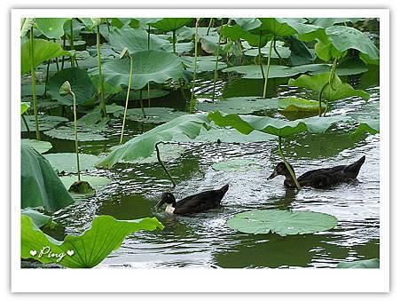 台北市植物園-荷花池內.jpg