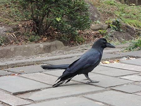 2013-12-18 11.43.18還有超大的烏鴉