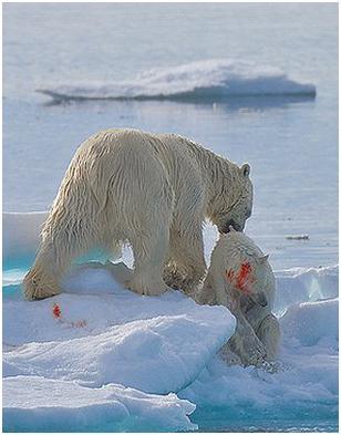氣候變暖食物減少致成年北極熊殘殺幼熊