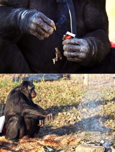 猩球崛起!美國黑猩猩會認字還會用火煮飯_01