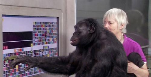猩球崛起!美國黑猩猩會認字還會用火煮飯_02.jpg