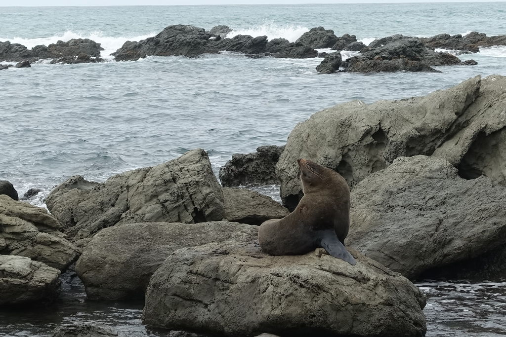 Paparoa Point_Seal.JPG