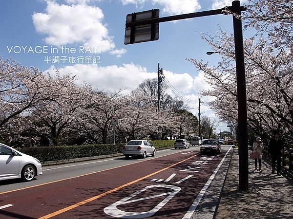 道路兩旁的櫻花