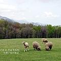 吃草中的綿羊
