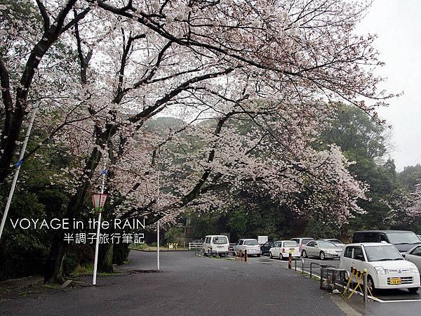 停車場旁的櫻花