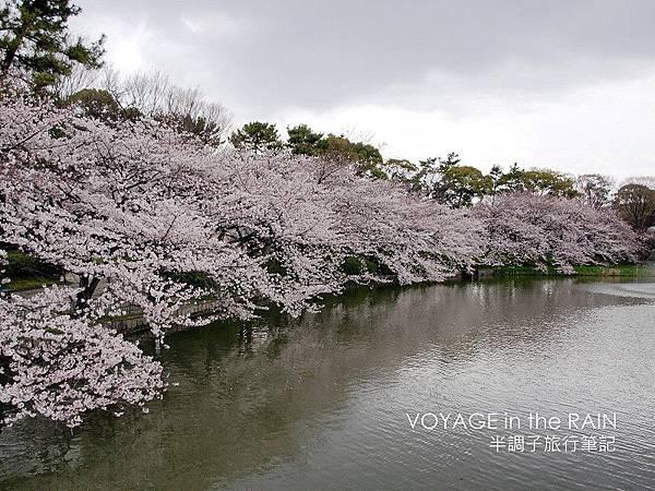 湖岸上的櫻樹