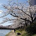 河岸上的櫻花