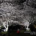櫻花看起來更茂盛了