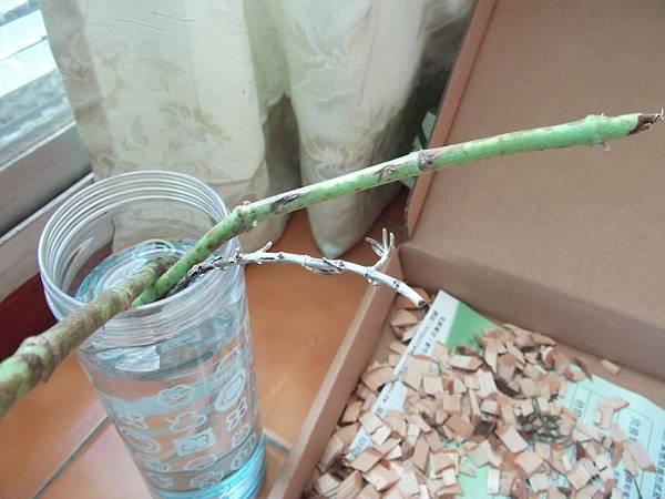 左手香-斑葉20111106.JPG