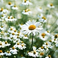 Bellia Perennis (daisy)
