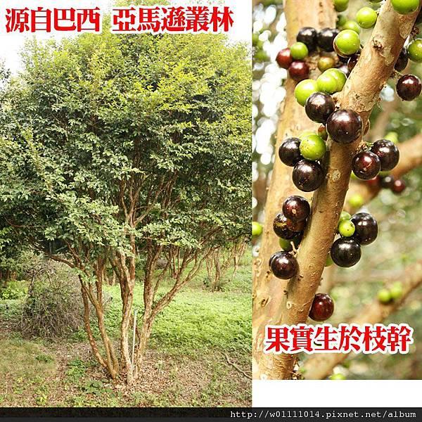 樹葡萄.JPG