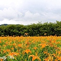 日月潭頭社金針花 (46).JPG