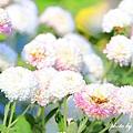 公館紫屋菊花 (33).JPG