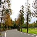桃園石園路落羽松 (2).JPG