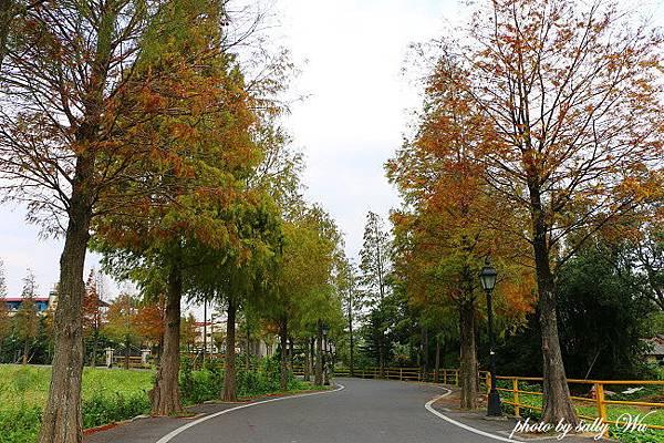 桃園石園路落羽松 (40)_