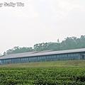 銅鑼茶廠 (53).JPG